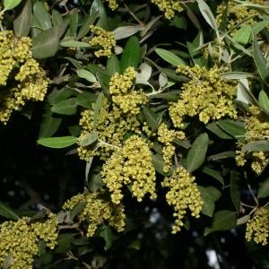Photographie n°28733 du taxon Quercus ilex L. [1753]