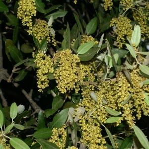 Photographie n°28734 du taxon Quercus ilex L. [1753]