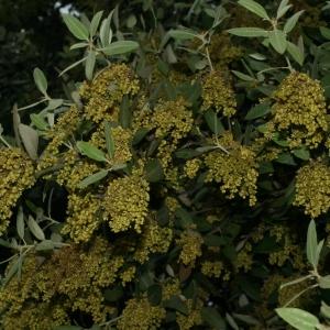 Photographie n°28736 du taxon Quercus ilex L. [1753]