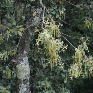 Photographie n°28737 du taxon Quercus ilex L. [1753]