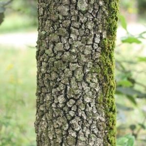 Photographie n°28738 du taxon Quercus ilex L. [1753]