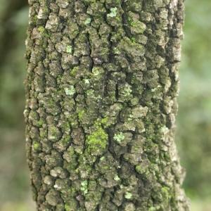Photographie n°28739 du taxon Quercus ilex L. [1753]