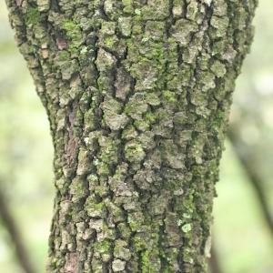 Photographie n°28740 du taxon Quercus ilex L. [1753]