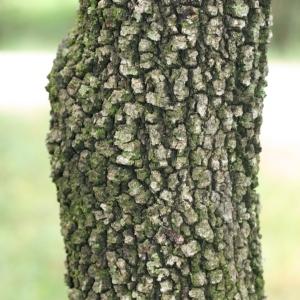 Photographie n°28741 du taxon Quercus ilex L. [1753]