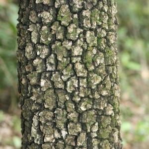Photographie n°28743 du taxon Quercus ilex L. [1753]