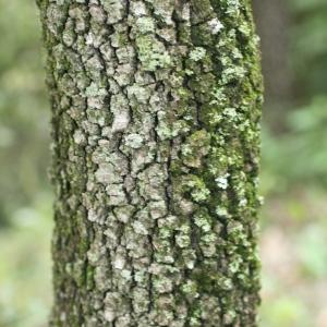 Photographie n°28747 du taxon Quercus ilex L. [1753]