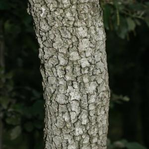 Photographie n°28748 du taxon Quercus ilex L. [1753]