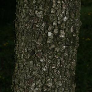 Photographie n°28749 du taxon Quercus ilex L. [1753]