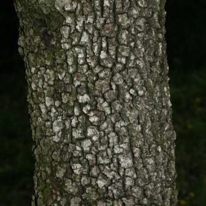 Photographie n°28750 du taxon Quercus ilex L. [1753]