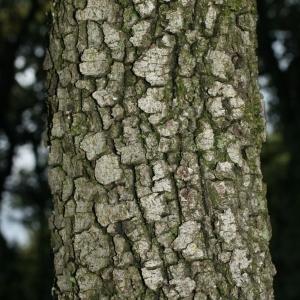 Photographie n°28751 du taxon Quercus ilex L. [1753]