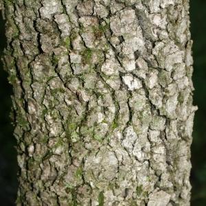 Photographie n°28752 du taxon Quercus ilex L. [1753]
