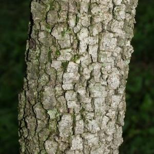 Photographie n°28753 du taxon Quercus ilex L. [1753]