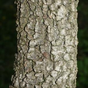 Photographie n°28754 du taxon Quercus ilex L. [1753]