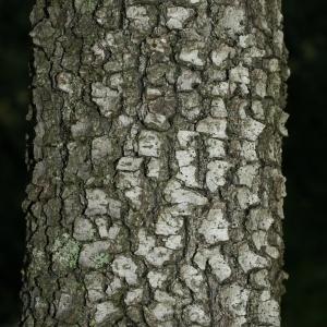 Photographie n°28755 du taxon Quercus ilex L. [1753]