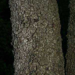 Photographie n°28756 du taxon Quercus ilex L. [1753]