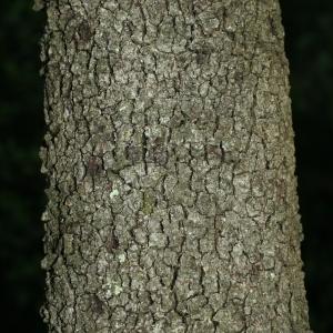 Photographie n°28757 du taxon Quercus ilex L. [1753]