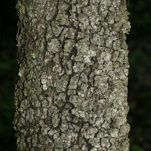 Photographie n°28758 du taxon Quercus ilex L. [1753]