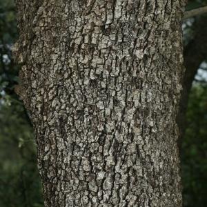 Photographie n°28760 du taxon Quercus ilex L. [1753]