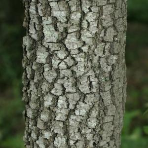 Photographie n°28761 du taxon Quercus ilex L. [1753]