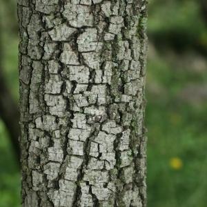 Photographie n°28762 du taxon Quercus ilex L. [1753]