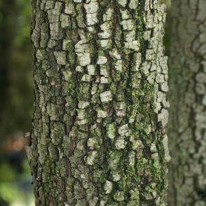 Photographie n°28763 du taxon Quercus ilex L. [1753]