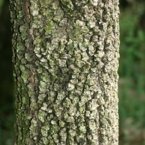 Photographie n°28764 du taxon Quercus ilex L. [1753]