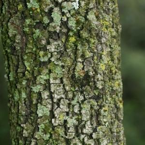 Photographie n°28765 du taxon Quercus ilex L. [1753]