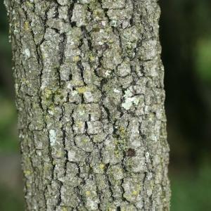 Photographie n°28768 du taxon Quercus ilex L. [1753]