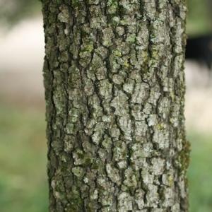 Photographie n°28769 du taxon Quercus ilex L. [1753]