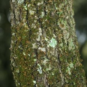 Photographie n°28770 du taxon Quercus ilex L. [1753]