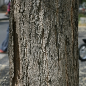 Photographie n°28833 du taxon Robinia pseudoacacia L.