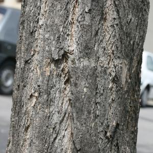 Photographie n°28834 du taxon Robinia pseudoacacia L.