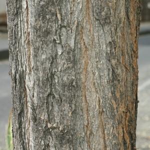 Photographie n°28836 du taxon Robinia pseudoacacia L.