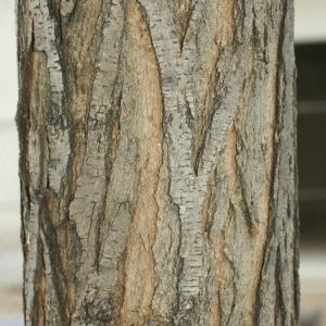 Photographie n°28840 du taxon Robinia pseudoacacia L.