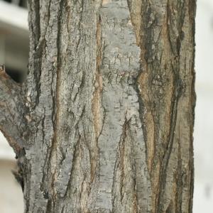 Photographie n°28841 du taxon Robinia pseudoacacia L.