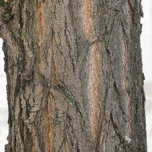 Photographie n°28845 du taxon Robinia pseudoacacia L.