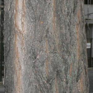 Photographie n°28847 du taxon Robinia pseudoacacia L.
