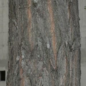 Photographie n°28848 du taxon Robinia pseudoacacia L.