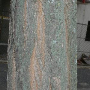 Photographie n°28850 du taxon Robinia pseudoacacia L.