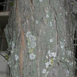 Photographie n°28851 du taxon Robinia pseudoacacia L.
