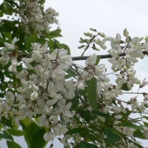 Photographie n°28854 du taxon Robinia pseudoacacia L.