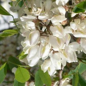 Photographie n°28857 du taxon Robinia pseudoacacia L.