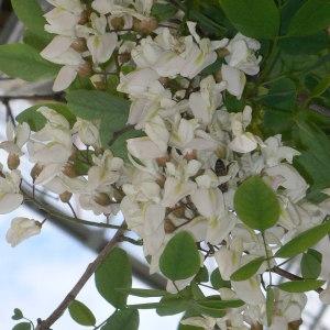 Photographie n°28858 du taxon Robinia pseudoacacia L.