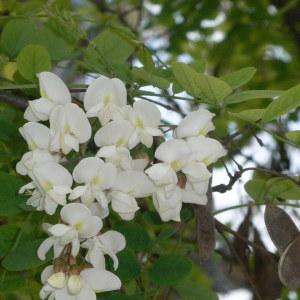 Photographie n°28868 du taxon Robinia pseudoacacia L.