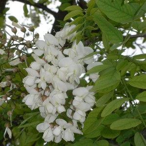 Photographie n°28874 du taxon Robinia pseudoacacia L.
