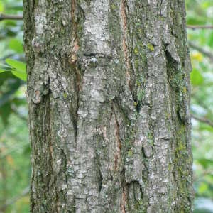 Photographie n°28882 du taxon Robinia pseudoacacia L.