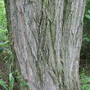 Photographie n°28883 du taxon Robinia pseudoacacia L.