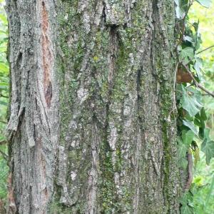 Photographie n°28884 du taxon Robinia pseudoacacia L.