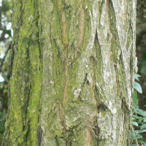 Photographie n°28886 du taxon Robinia pseudoacacia L.