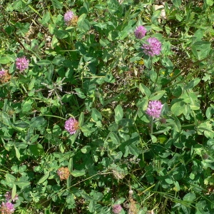 Photographie n°28990 du taxon Trifolium pratense L. [1753]